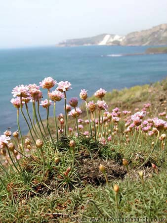 Thrift on the cliff tops